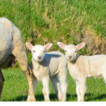Podcast 281:  What Makes a Good Shepherd, Good?